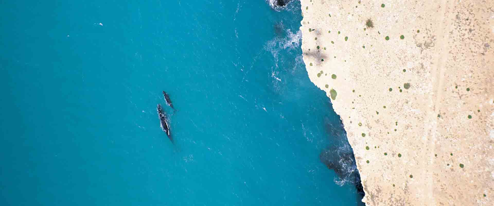 Southern Right Whales, Head of Bight
