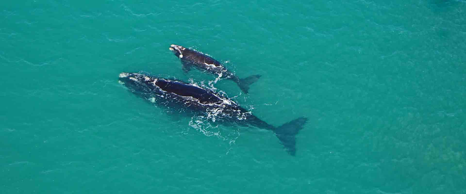 Southern Right Whales, Fleurieu Peninsula