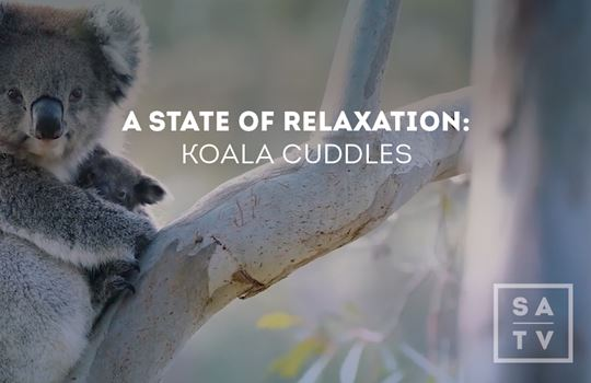Wild Koalas | South Australia Wildlife & Scenes | SATV