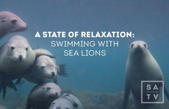 Wild Sea-lions | South Australia Wildlife & Scenes | SATV