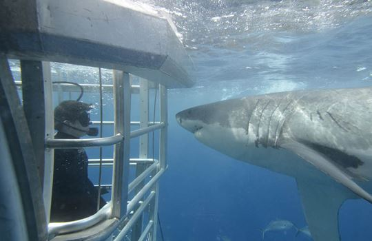 Shark cage diving Adventure Bay charters